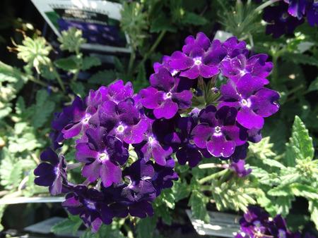 margen: Arrastrando verbena Verbena hybrida hierba jardín con rastrero base de hojas con margen dentado o flores de color púrpura ligeramente lobuladas y azulados en las cabezas planas Foto de archivo
