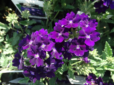 lobed: Trailing verbena Verbena hybrida garden herb with creeping base leaves with toothed margin or slightly lobed and bluish purple flowers in flat heads