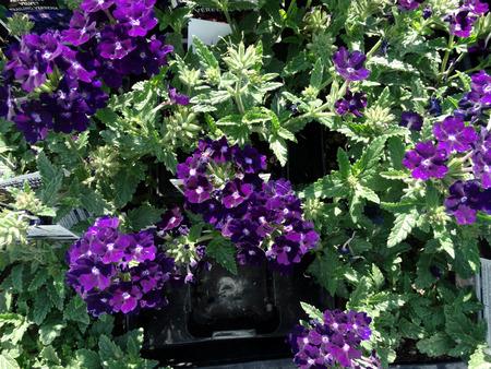 margen: Arrastrando verbena Verbena hybrida hierba jard�n con rastrero base de hojas con margen dentado o flores de color p�rpura ligeramente lobuladas y azulados en las cabezas planas Foto de archivo