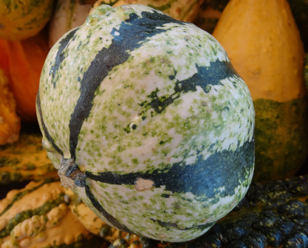 globose fruits: Striped gourd Cucurbita pepo a squash cultivar of medium size with globose fruits with grey and dark green striped and flecked fruits orange flesh good for cooking.