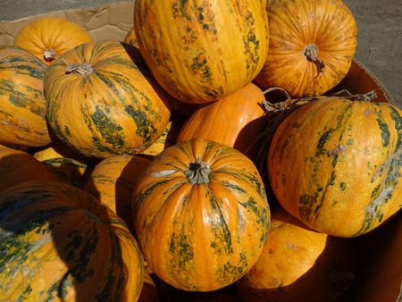 cucurbita: Kakai pumpkin Cucurbita pepo orange yellow medium sized pumpkin with orange yellow skin with green patches grown for hullless seeds which are consumed after roasting also grown for seed oil.