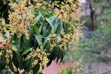 lanceolate: Mango tree Mangifera indica evergreen tree with shining green lanceolate leaves and small pale yellow flowers in large panicles