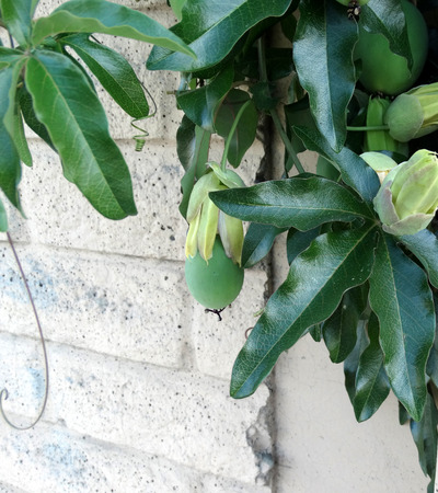 palmate: Passiflora caerulea blue passion flower woody climber with palmate leaves and blue and white flowers ovoid fruit maturing orange is edible but bland