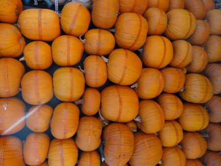 pumkin: Pumpkin hut wall, Cucurbita pepo Connecticut pumpkin, wall of hut made from nicely arraged pumkin fruits