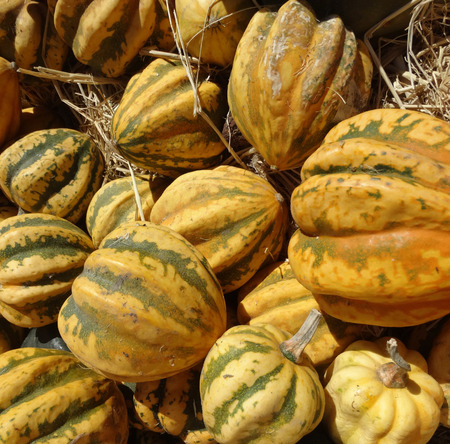 grooves: Dumpling squash, Cucurbita pepo, a small squash about 10 cm in size with ribbed surface, yellow with green grooves, orange flesh with sweet flavor.