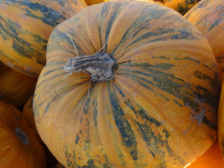 consumed: Kakai pumpkin, Cucurbita pepo, orange yellow medium sized pumpkin with orange yellow skin with green patches, grown for hull-less seeds which are consumed after roasting, also grown for seed oil. Stock Photo