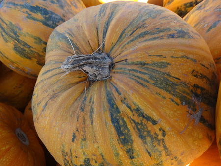 sized: Kakai pumpkin, Cucurbita pepo, orange yellow medium sized pumpkin with orange yellow skin with green patches, grown for hull-less seeds which are consumed after roasting, also grown for seed oil. Stock Photo
