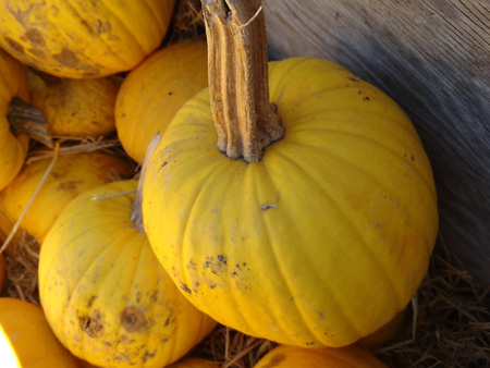 suitable: Cucurbita pepo, Sunlight pumpkin, cultivar with squat fruits with shining yellow skin, suitable for Jack-o-lantern decorations Stock Photo