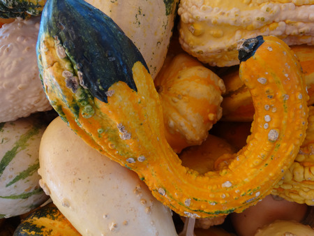 cucurbita: Warty gourd, Cucurbita, ornamental often with curved neck, often like autumn wings with warted surface