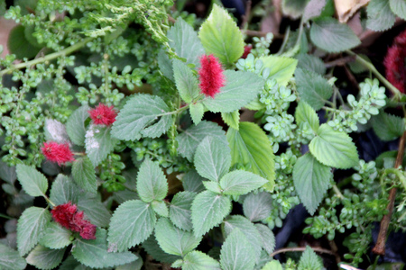 ornamental shrub: Acalypha chamaedrifolia, ornamental shrub with toothed green leaves and red terminal spicate inflorescence Stock Photo