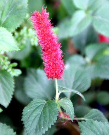 inflorescence: Acalypha chamaedrifolia, ornamental shrub with toothed green leaves and red terminal spicate inflorescence Stock Photo