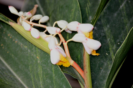 alpinia: Alpinia calacarata, Java galangal, perennial herb with underground root, ginger like leaves, used in medicine