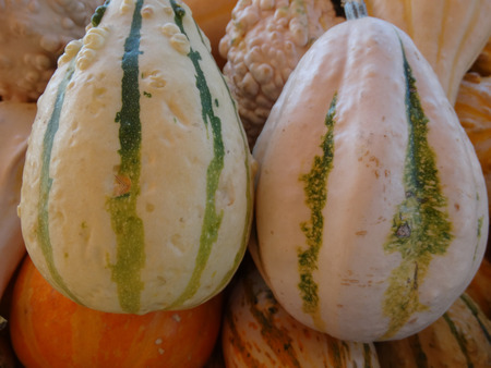 cucurbita: Warty stripe pear gourd, Cucurbita pepo cultivar with pear shaped fruits , warted surface and with stripes, used for decorations