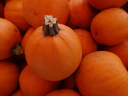 globose: Cucurbita pepo, Wee-bee-littles, Mini pie pumpkin with orange yellow globose fruits barely 10 cm in size  popular for carving and decorations Stock Photo