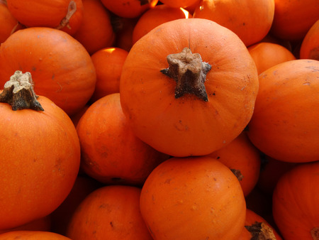 globose fruits: Cucurbita pepo, Wee-bee-littles, Mini pie pumpkin with orange yellow globose fruits barely 10 cm in size  popular for carving and decorations Stock Photo
