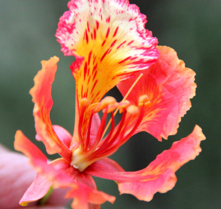 flame like: Delonix regia, flame tree, Gul mohar, ornamental tree with feather like leaves and orange red flowers
