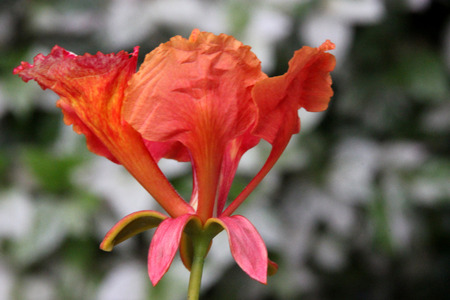 broad leaf: Delonix regia, flame tree, Gul mohar, ornamental tree with feather like leaves and orange red flowers