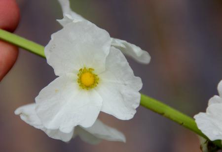 echinodorus: Echinodorus cordifolius, Creeping burhead, aquatic plant suited for aquariums, with long stalked heart shaped leaves and white flowers on elongated axis.