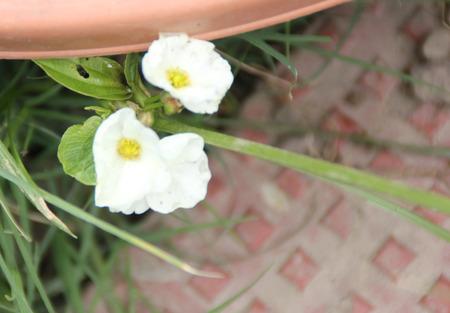 적합: Echinodorus의 palaefolius, 멕시코 칼 공장, 긴 축에 좁고 긴 잎과 흰색 꽃과 수족관에 적합한 수생 식물 스톡 콘텐츠