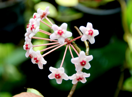 porcelain flower: Hoya carnosa, wax plant, porcelain flower, house plant with attractive waxy foliage and star shaped flowers in clusters