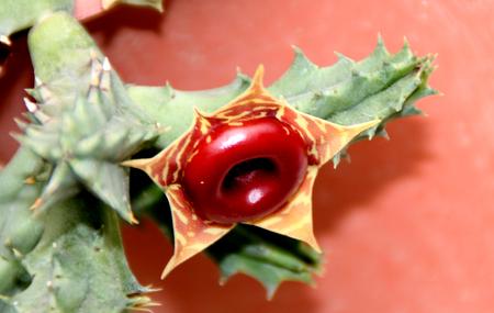 casita de dulces: insigniflora Huernia, cactus salvavidas, planta de la casa de la jardiner�a en macetas con flores de coral de albaricoque se asemejan a los salvavidas de caramelo Foto de archivo