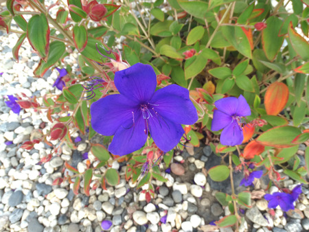 velvety: Tibouchina urvilleana, Glory bush, evergreen bush with dark green velvety leaves  and large purple flowers Stock Photo