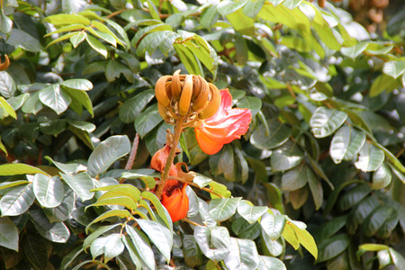nandi: Spathodea campanulata, African tulip tree, Fountain tree, Nandi flame, ornamental tree with orange-red bell shaped flowers, flower buds ampule shaped and carry water. Stock Photo