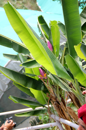Musa ornata, Flowering banana. ornamental banana, tropical evergreen perennial with large leaves and pink to purple floral bracts