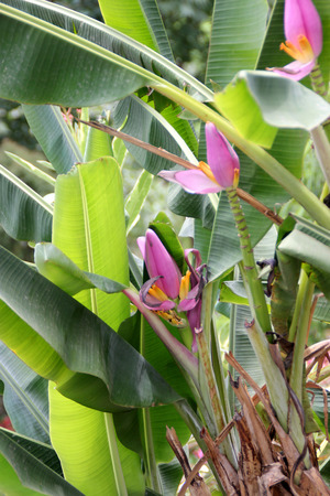 bracts large: Musa ornata, Flowering banana. ornamental banana, tropical evergreen perennial with large leaves and pink to purple floral bracts