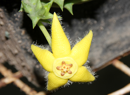 spines: Orbea semota, Yellow orbea, succulent with spines and yellow star shaped flowers with lobed corona Stock Photo