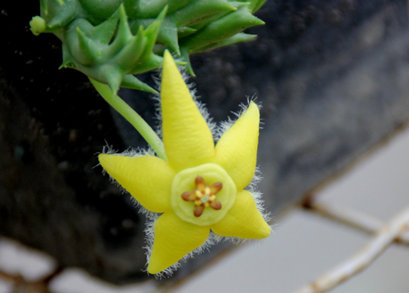 lobed: Orbea semota, Yellow orbea, succulent with spines and yellow star shaped flowers with lobed corona Stock Photo