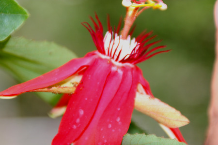 scarlet: Scarlet passion flower, Passiflora coccinea, evergreen climber with obovate dentate leaves, scarlet flowers, yellow or orange fruits mottled green