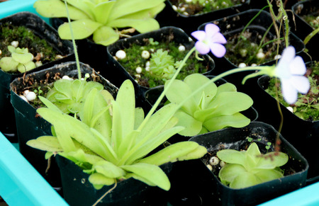 aphrodite: Pinguicula Aphrodite, hybrid cultivar with long narrow leaves with rounded tips forming a rosette, small violet flowers fading to pink