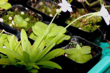 afrodita: Pinguicula Afrodita, cultivar h�brido con hojas largas y estrechas con puntas redondeadas formando una roseta, peque�as flores de color violeta a rosa decoloraci�n