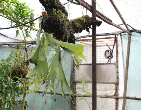 platycerium: Platycerium bifurcatum, staghorn fern, Elkhorn fern, epiphytic fern growing on trees, with forked and strap shaped fronds