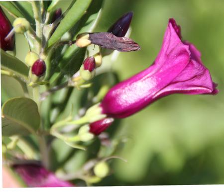funnel shaped: Argyreia cuneata, Purple morning glory, Mysore Argyreia, woody climber oblong cuneate  leaves and bright purple colored funnel shaped flowers