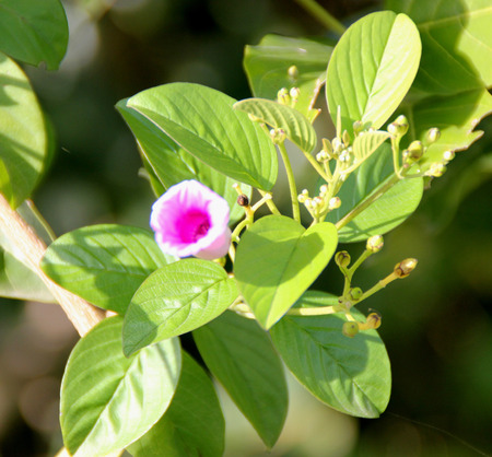 elliptic: Argyreia elliptica, woody vine with elliptic to obovate leaves and pink to rose colored funnel shaped flowers in flat-topped clusters.