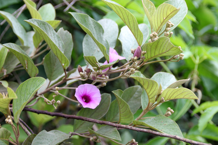 funnel shaped: Argyreia elliptica, woody vine with elliptic to obovate leaves and pink to rose colored funnel shaped flowers in flat-topped clusters.