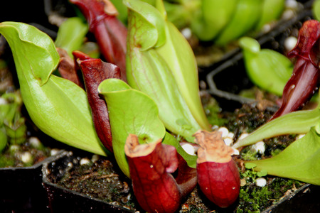 smaller: Sarracenia purpurea subsp venosa, smaller sized pitcher plant of Maryland with rough and pubescent pitchers, overlapping lateral ears Stock Photo