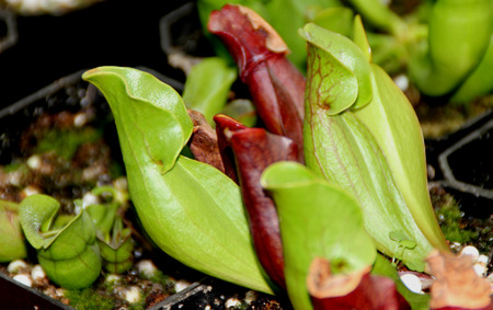 pubescent: Sarracenia purpurea subsp venosa, smaller sized pitcher plant of Maryland with rough and pubescent pitchers, overlapping lateral ears.