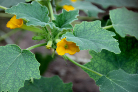 lobed: Uncarina roeoesliana, deciduous tropical shrub with entire or lobed leaves, caudex at base and yellow flowers Stock Photo