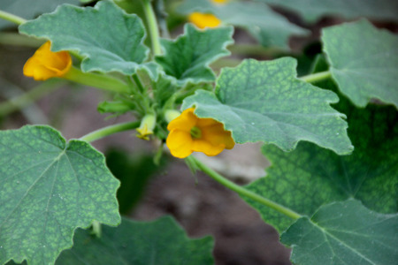 tropical shrub: Uncarina roeoesliana, deciduous tropical shrub with entire or lobed leaves, caudex at base and yellow flowers Stock Photo