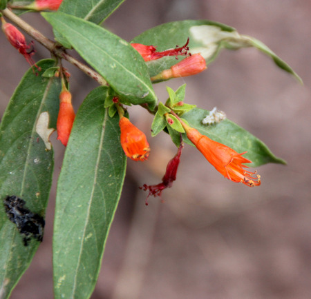 lanceolate: Woodfordia fruticosa, shrub with green lanceolate leaves and orange tubular flowers in leaf axils