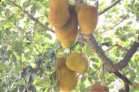 Jackfruit, Artocarpus heterophyllus, evergreen tree of tropics with cailiflorus multiple fruit up to 50 kg in size with lot of white latex, starch and large seeds, used as cooked vegetable.