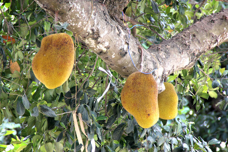 starch: Jackfruit, Artocarpus heterophyllus, evergreen tree of tropics with cailiflorus multiple fruit up to 50 kg in size with lot of white latex, starch and large seeds, used as cooked vegetable.