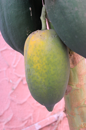 Carica papaya, Papaya, soft wooded erect tree with terminal crown of large leaves and soft berry fruit weighing more than a Kilogram, usually seedless