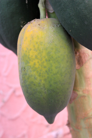 usually: Carica papaya, Papaya, soft wooded erect tree with terminal crown of large leaves and soft berry fruit weighing more than a Kilogram, usually seedless