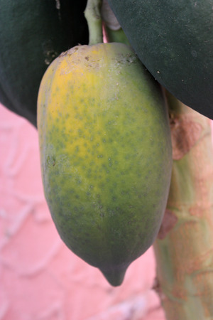erect: Carica papaya, Papaya, soft wooded erect tree with terminal crown of large leaves and soft berry fruit weighing more than a Kilogram, usually seedless