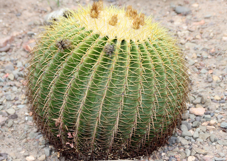 spines: Echinocactus grusonii, Golden barrel cactus, large spherical cactus with yellow spines along ridges, native of Mexico, endangered in native habitat. Stock Photo