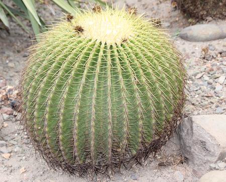 spines: Echinocactus grusonii, Golden barrel cactus, large spherical cactus with yellow spines along ridges, native of Mexico, endangered in native habitat. Stock Photo